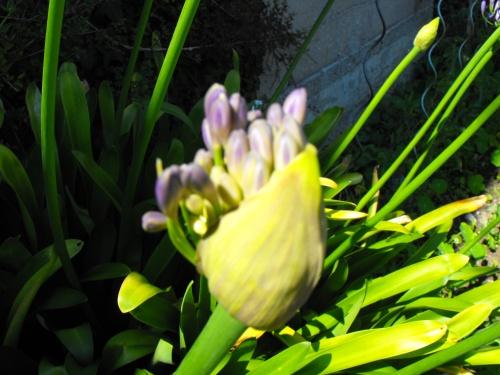 naissance d'une fleur : agapanthe