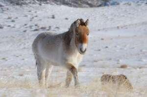 Cheval de Przewalski (Equus przewalskii)