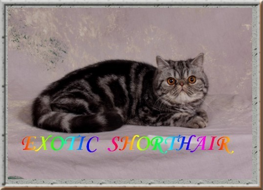 catsisles-cattery-exotic-shorthair