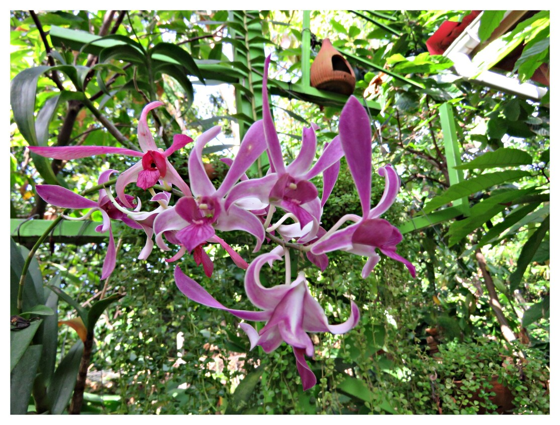 GUADELOUPE LES ORCHIDEES  No4