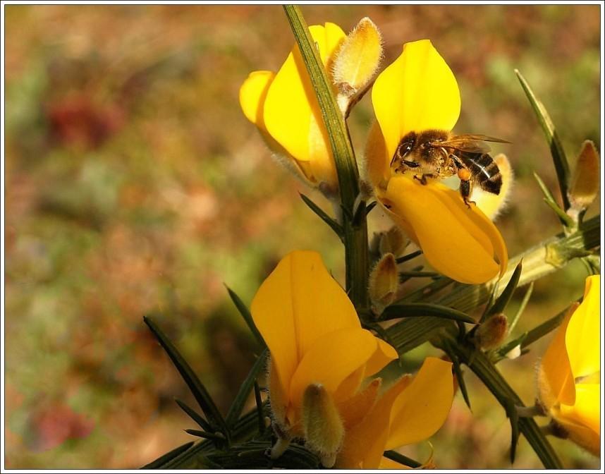 Abeille-sur-une-fleur-d-ajonc.JPG