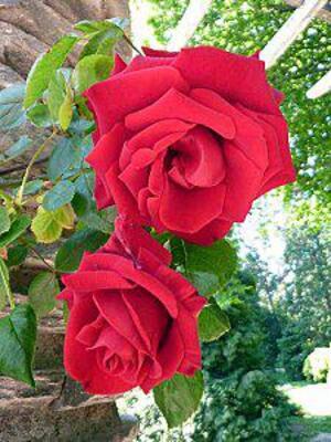 Poésie : Une rose !