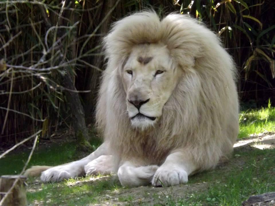 le lion blanc blog du prasmel. Black Bedroom Furniture Sets. Home Design Ideas