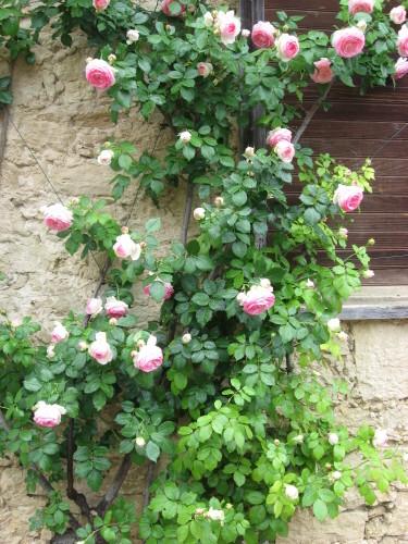 Mes-fleurs-et-le-potager 2223