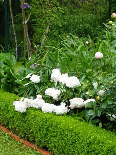 Jardin Rose pivoine