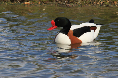 Tadorne de Belon (Common Shelduck)