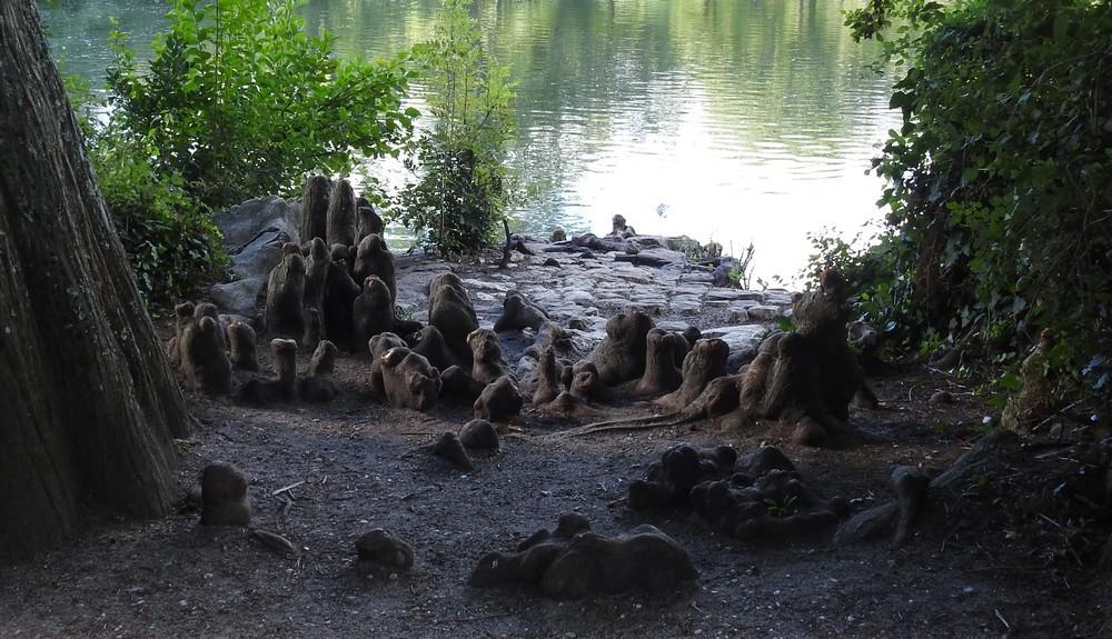 Les pneumatophores des cyprès chauves, au parc de Bourran, à Mérignac...