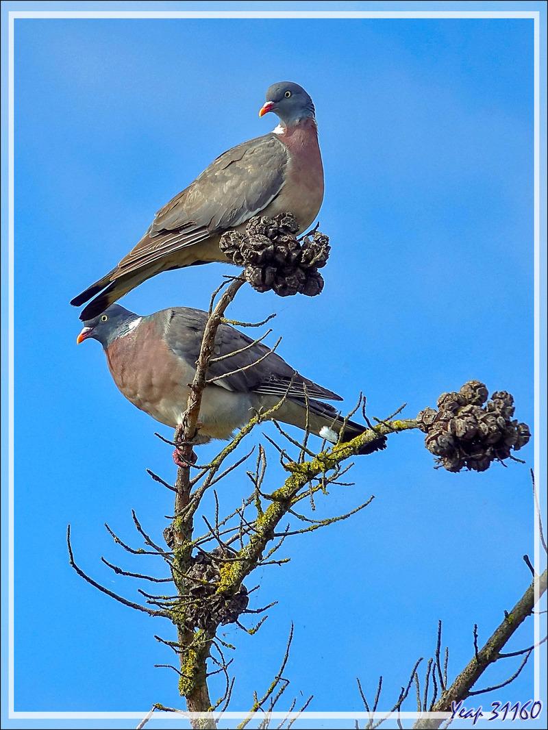 Pigeon ramier, Palombe, Common Wood Pigeon (Columba palumbus) - Ars-en-Ré - Ile de Ré - 17