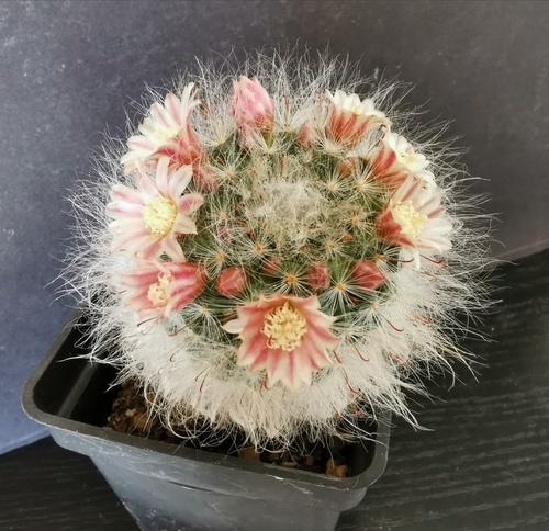 Mammilarias et rebutis en fleurs