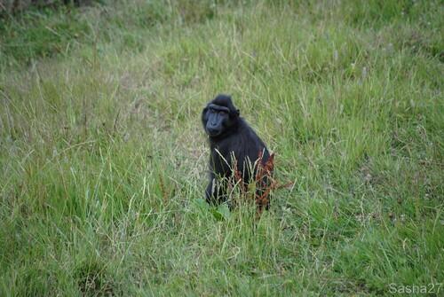 (1) Le macaque à tête noire.