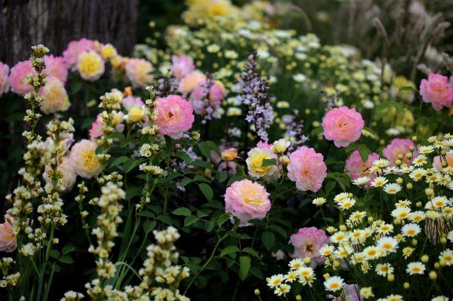 Les roses de Warren : Blushed Yellow