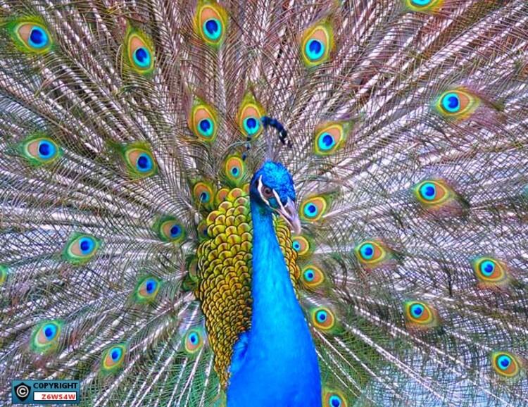 le Paon bleu (Pavo cristatus)
