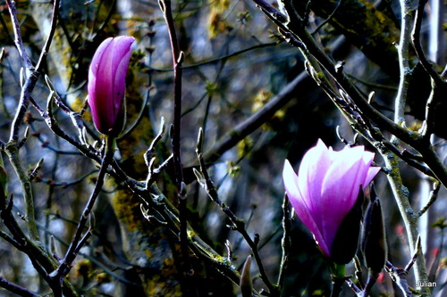 Le tulipier ouvre ses fleurs