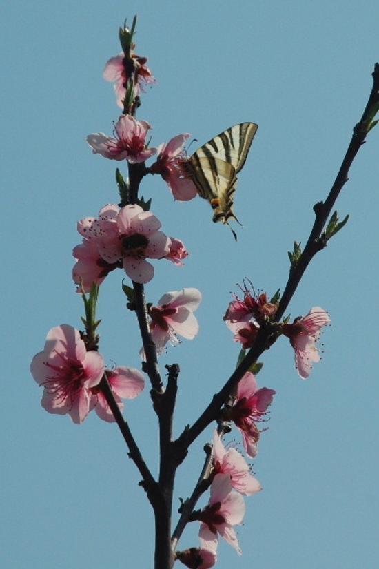 fleurs-peche-et-papillon-d