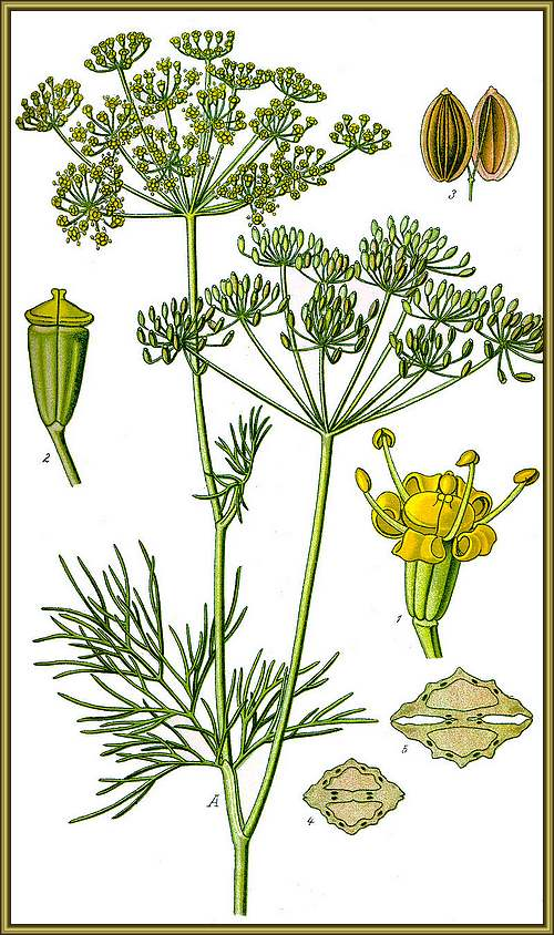 Vertus madicinales des plantes sauvages : Aneth