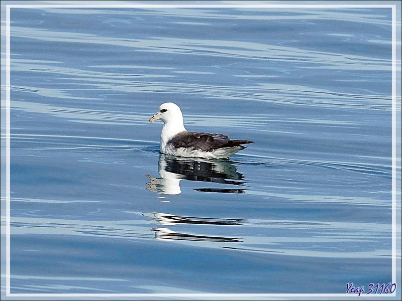 Le repos et l'envol du Fulmar boréal - Baie de Disko - Groenland