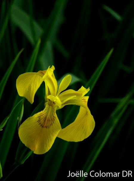 Iris, mon bel iris !