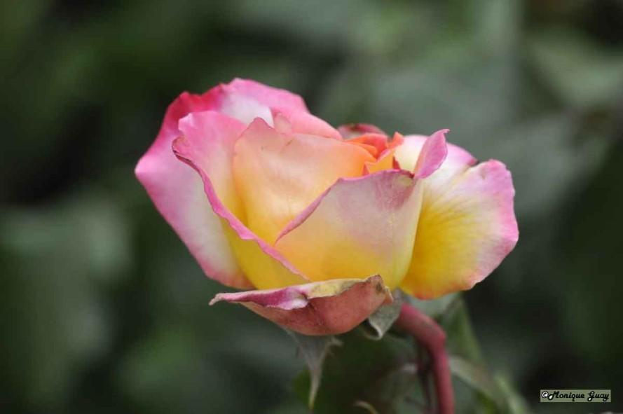 DSC1073-rose