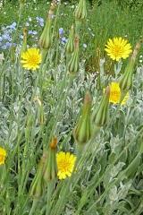 Salsifis des prés fleurs