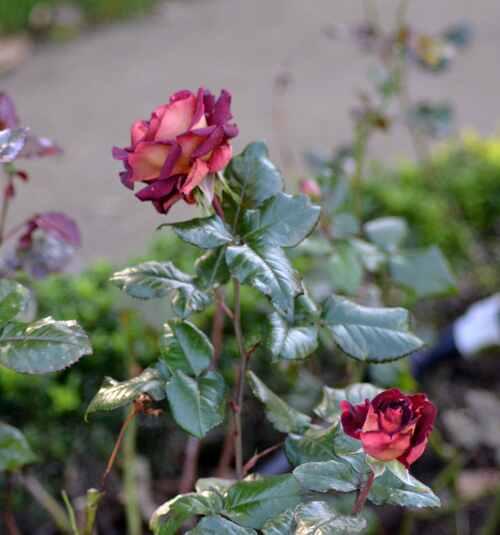 "Rose au jardin de la ville appelé 'Roseraie"" !"