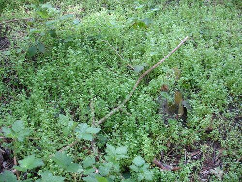 21 avril '14 - Quelques plantes comestibles de mon quartier