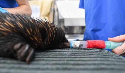 Un hôpital vétérinaire sur roues en Australie ...