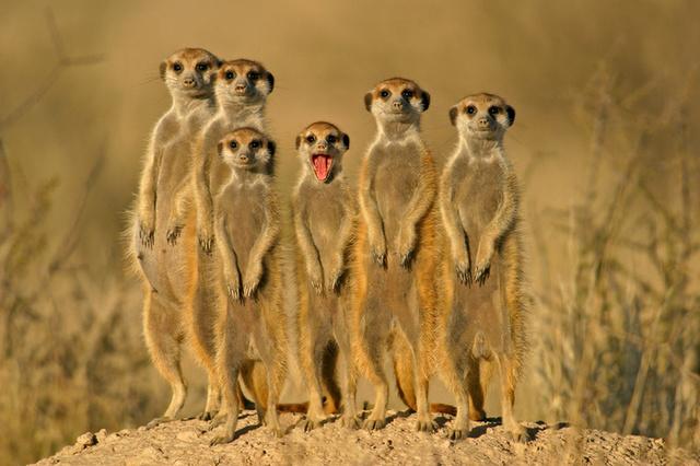 Famille de suricate