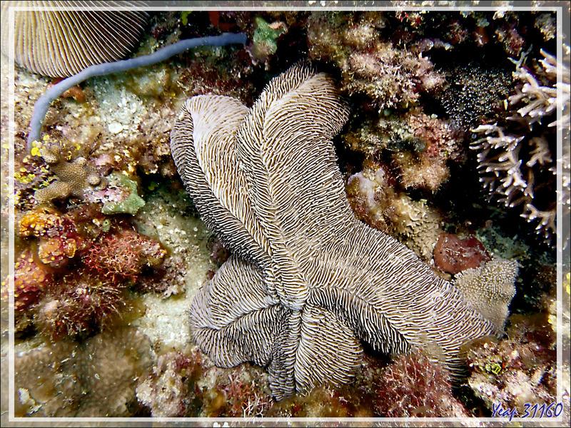 Corail-champignon se prenant pour une étoile ! Corail-boomerang, Striate boomerang coral, Tongue coral, Slipper mushroom (Herpolitha limax) - Betaniazo - Nosy Tsarabanjina - Nosy Mitsio - Madagascar
