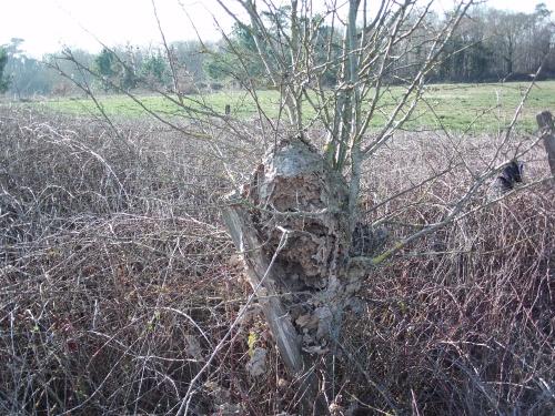 nid de frelon asiatique au ras du sol