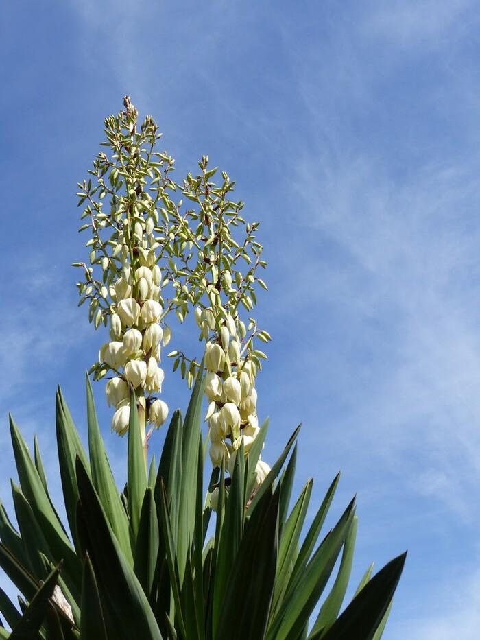 ...sont pas tous en boule, les yuccas...y en a qui nous font des fleurs... il y en a qui nous collent des boutons...