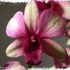 Dendrobium_sunny_cocktail_02