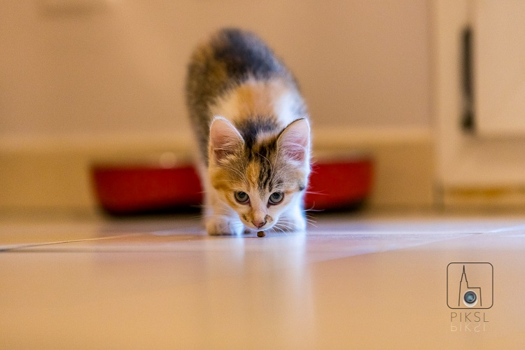 Chumlee le chaton