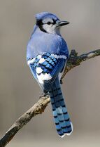 Bluejay - not my favorite bird, but my Australian Shepherd caught one and carried around until my father caught her, he said the Blue Jay flew away unharmed, just a bit wet. :) My Dad gave me a Bluejay ornament this Christmas with this story, so now I smile when I see a Bluejay.
