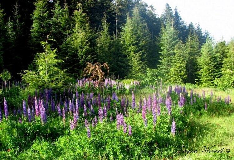 Nouvelles du Canada 139 : Lupins