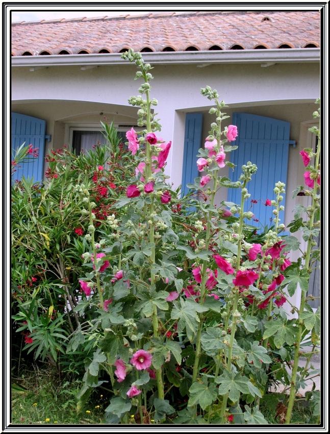 Les roses trémières du jardin