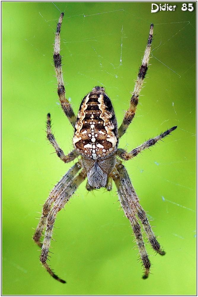 Epeire Diadème (1) - Araneus diadematus