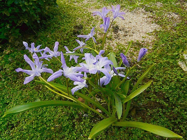 Chionodoxa-luciliae--31-03-10-019.jpg