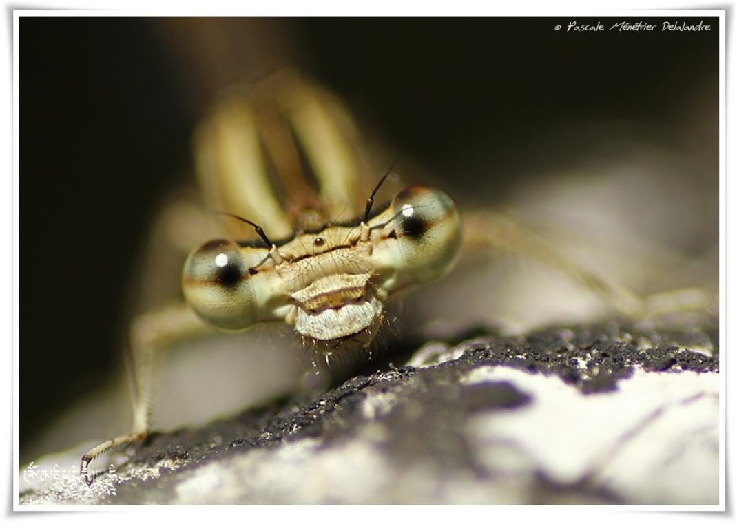 Pennipatte blanchâtre ♀ imature - Platycnemis latipes