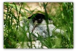 Combattant varié - Parc des oiseaux