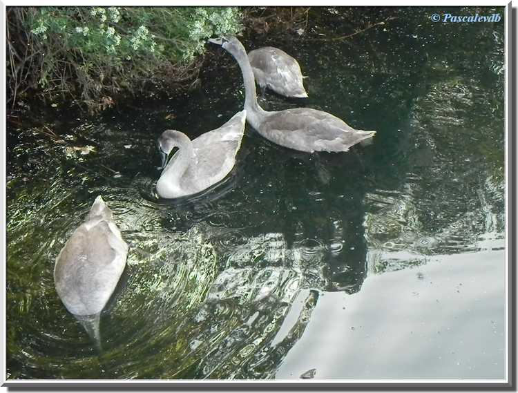 Parc ornithologique du Teich - Cygnons