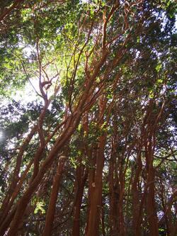 Los Arrayanes, un arbre qu'on ne trouve qu'ici