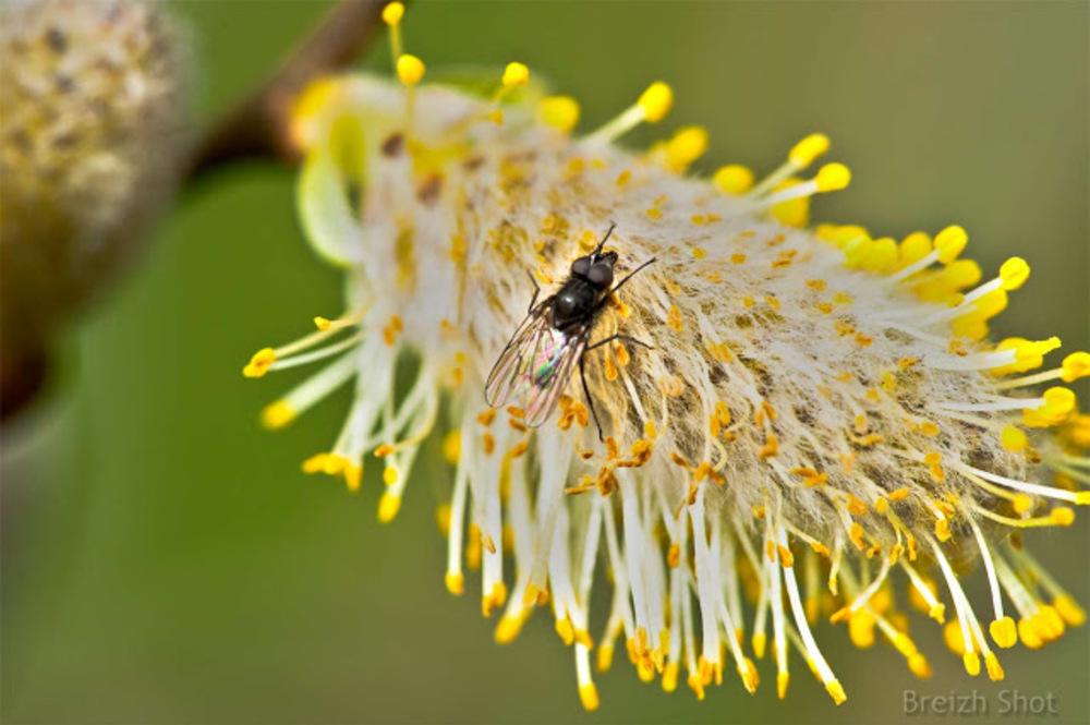 Mouche sur une fleur de saule