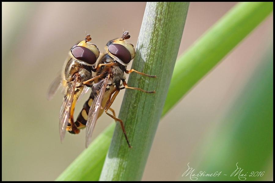 Syrphe : Eupeodes sp.