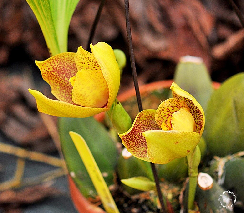 Exposition d'orchidées d'Annequin (5)