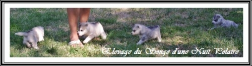 Groupe chiots Huskys (27j)