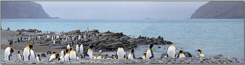 Manchot royal, King penguin (Aptenodytes patagonicus) - Whistle Cove - Fortuna Bay - Géorgie du Sud