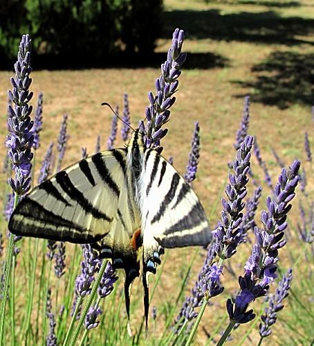 papillon flambe lavande provence macro