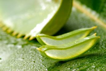 http://aloe-vera-bio.org/WordPress/wp-content/uploads/2010/05/Aloe-vera-7.jpg