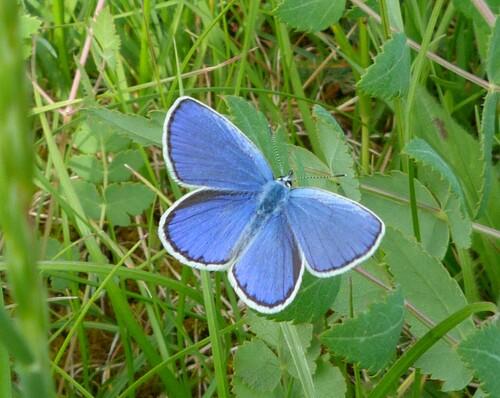 Le Bel-argus ou Azuré bleu-céleste