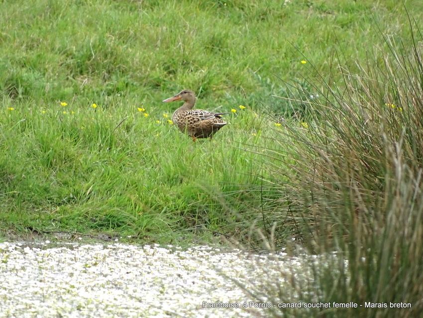 Canard souchet femelle